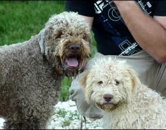chien truffier lagotto romagnolo